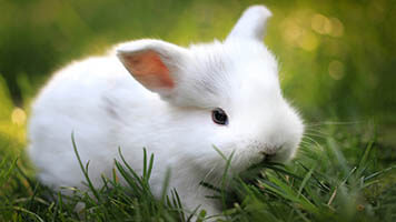 If you like cute white bunnies, get this free white bunny wallpaper on your computer. White bunnies are so fluffy and cute to have around! Why not have one on your homepage? It comes with its own color set, too!