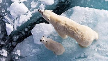 On aime les ours, mais il faut reconnaître qu'on aime plus les ours polaires ! Plus jolis que jamais, télécharge notre fond d'écran Ours polaire et tu peux sentir le froid de l'hiver. Le fond d'écran Ours Polaire a sa propre palette de couleurs.