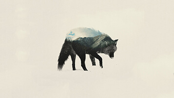 The Winter Wolf 2 is the perfect wallpaper for all the night howlers out there! Get this free Winter Wolf 2 wallpaper on your computer and share it with other wolf lovers.