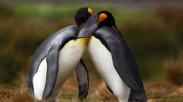 ¿Te sientes tan enamorado como estos dos pájaros? Entonces intenta el tema llamado Amor de pingüino en tu pantalla de inicio. Es perfecto para esos días cuándo simplemente quieres quedarte en casa y dejarte acariciar por tu querido.