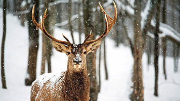 What's Santa's favourite animal? The Reindeer! Try the winter season wallpapers and don't forget about the gentle Reindeer wallpaper.