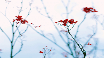 Il serait bien ne pas manger ces fruits attirants d'hiver parce qu'ils sont toxiques! Mais tu peux au moins régaler tes yeux du contraste qu'ils font sur la neige! Télécharge le thème dénommé Fruits d'hiver sur ta page d'accueil et jouis les derniers reliques de l'automne!