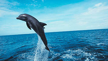 Feeling enthusiastic like a jumping dolphin? We've got the perfect wallpaper for you! Get the Jumping Dolphin wallpaper on your homepage now!