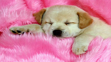 Sometimes you just feel like a Sleeping Puppy, don't you? Get in the mood for a nap without Sleeping Puppy wallpaper.Get this free Sleeping Puppy wallpaper on your computer.