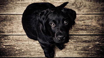 Can you say no to the Black Labrador? Of course not! Get this free Black Labrador wallpaper on your homepage and share it with other black labrador lovers.