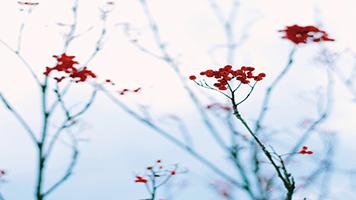 Es mejor no comer estos frutos tan atractivos de invierno, porque son tóxicos. Pero puedes disfrutar del contraste que hace con la nieve. Descarga el tema Frutos de invierno en tu pantalla de inicio y disfruta las últimas reliquias del otoño.
