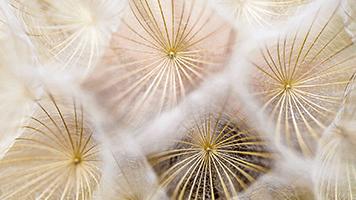 Se ti piace lo sfondo denominato Semi Di Piante Di Leone, lo potrai mettere gratuitamente e semplicemente sulla tua pagina iniziale per poter godere la bellezza della natura. Lo sfondo denominato Semi Di Denti Di Leone arriva insieme al pacchetto personalizzato di colori.