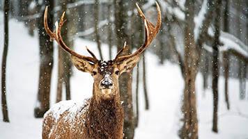 Quel est l'animal préféré du Père Noel ? Le renne ! Essaie ces fonds d'écran contenant des paysages d'hiver et n'oublie pas le fond d'écran contenant l'image si tendre du renne.