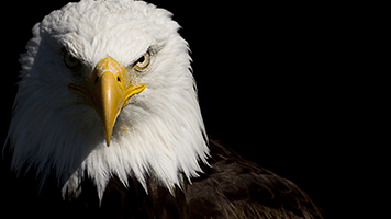 Get you eagle eye on this cool theme! Set the Eagle wallpaper on your homescreen and enjoy the true beauty of nature!