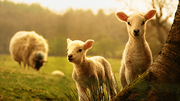 Get this super cute Little Lambs theme on your homepage and get ready to experience the beautiful rural landscape. Set it with just one click and remember, the Little Lambs theme comes with it's own color set.