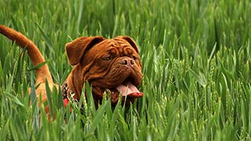 They say dogs are man's best friends. Try this Mastiff theme and start a new friendship with this cute dog. The Mastiff theme it's free and you can set it easily with just one click.