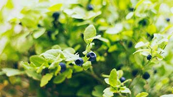 What's your favorite fruit? Of course, the huckleberry! It's so purple and yummy, almost to pretty to be eat! So set the Huckleberry theme on your homepage if you have a craving for this tasty fruit!