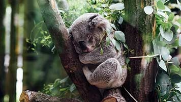 Have you ever seen a koala bear? If not, try the Koala Bear wallpaper on your homepage and start getting used to having the wild life one step closer!