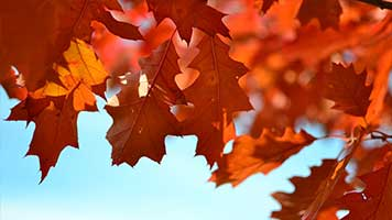 Autumn is here and the maple leaves are most beautiful in this time of the year! Set the Maple Leaves wallpaper on your homepage and let's celebrate the coming of Autumn!