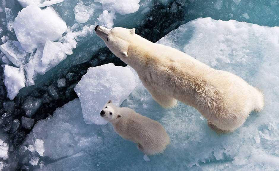 Polar Bear Wallpaper - UR Customization