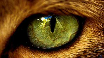 The cat's eye is one of the most evolved seeing organs in the animal kingdom, perfect for night time and hunting and nevertheless beautiful. If you admire the feline eyes make sure you set the Cat Eye wallpaper on your home screen.